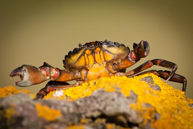 Crab - Macro