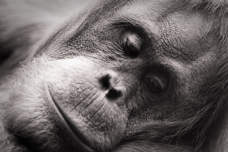 Orang Utan - Chester Zoo